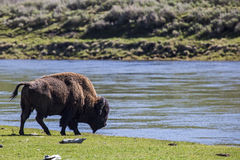 Bison along the Yellowstone River in Wyoming USA Royalty Free Stock Images