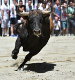Bull. In spain with big antlers Stock Image
