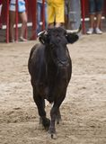 Bull in a bullring Royalty Free Stock Images
