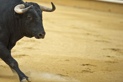 Bull in the bullring. Stock Photos