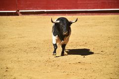 Bull in the bullring with big horns in spain stock photos