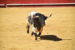 Bull in the bullring with big horns in spain royalty free stock photos