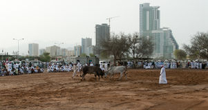 Bull butting in Fajarah, UAE Stock Photography