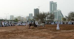 Bull butting in Fajarah, UAE. Bull butting in the shadow of modern buildings, Fajarah. UAE Stock Photography