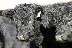 Bull calf Royalty Free Stock Photo