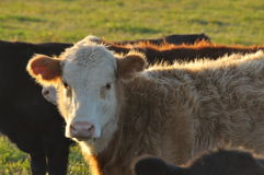 A bull calf face on fringed with evening light Royalty Free Stock Images