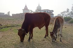 A Bull and a Calf Graze by a Temple Royalty Free Stock Image