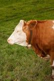 Bull calf Royalty Free Stock Photos