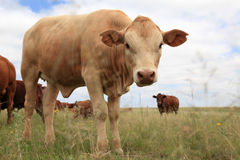 Bull Calf and herd Stock Photo