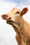 Bull Calf Stock Photos