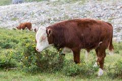 Bull-calf Stock Photography