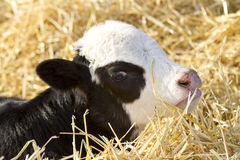 Bull calf with pink nose. Its calving time on the ranch again brand new baby bull calf laying in the straw Royalty Free Stock Photo