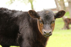 Bull Calf Portrait. A black bull calf in the pasture royalty free stock image