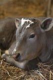 Bull calf portrait Stock Images