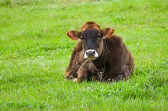 Bull-calf on a spring pasture at rainy day Stock Image