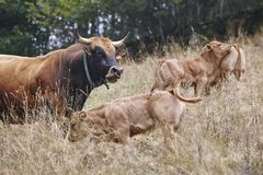 Bull and calves in the countryside. Cattle, livestock. Horizontal. Bull and calves in the countryside. Cattle, livestock. Mammal royalty free stock photo