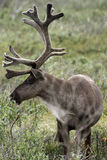 Bull Caribou Royalty Free Stock Photos