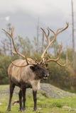 Bull Caribou Stock Image