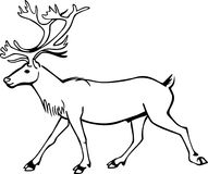 Bull Caribou. Line drawing a male caribou or reindeer walking Royalty Free Stock Image