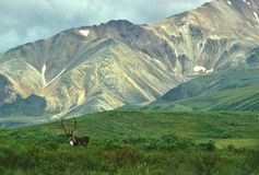 Bull Caribou in Mountain Scenic stock photography