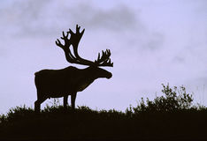 Bull Caribou Silhouette Royalty Free Stock Photo