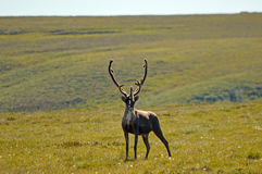 Bull Caribou Royalty Free Stock Photo