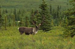 Bull Caribou in Velvet Royalty Free Stock Image