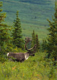 Bull Caribou in Velvet. A bull caribou in velvet standing in the taiga Royalty Free Stock Images
