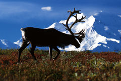 Bull caribou walking in front of Mt. McKinley (Rangifer tarandus Royalty Free Stock Images