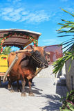 Bull carriage in Seychelles Royalty Free Stock Images