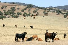 Bull cattle black toro in southern Spain Stock Photography