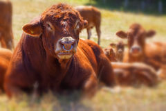 Bull - Cattle Royalty Free Stock Photography