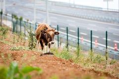Bull cerca de Osman Gazi Bridge en Kocaeli, Turquía Imagen de archivo libre de regalías