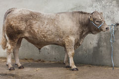Bull chained to wall with rope. Picture of a beautiful large bull chained to a wall with a ring in its nose stock photos