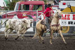 Bull chases after cowboy on horse. Stock Photos