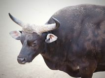 Bull in Chester. ZOO...United Kingdom stock photos