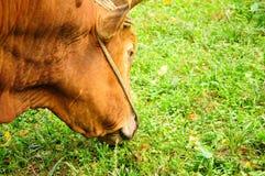 Bull in China Stock Photos