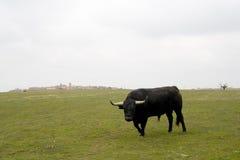 Bull cobrando Fotografia de Stock