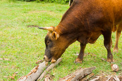 A bull at a coconut plantation in the tropics. A bovine creature grazing on grass in the caribbean Stock Photos