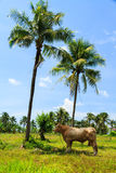 Bull with coconut tree Stock Photos