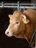 Bull-collo Fotografia Stock Libera da Diritti