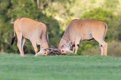 Bull Common Eland Rutting Royalty Free Stock Images