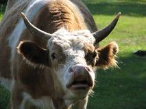 Bull con los ojos que resaltan grandes Foto de archivo