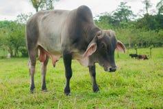 Bull. Costa Rican bull portrait stock image