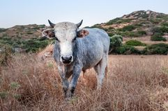 Bull in country field Stock Photo