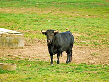 Bull on countryside in Salamanca, Spain Stock Images