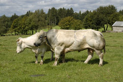 Bull and cow Royalty Free Stock Images