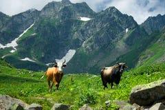 Bull and cow. The Alpine meadows. Abkhazia Royalty Free Stock Photos
