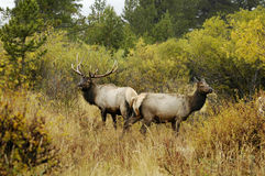 Bull and cow elk. A bull elk and cow during the rut in Rocky Mountain National Park Stock Photo