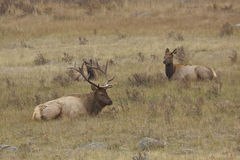 Bull and Cow Elk Bedded in Meadow Royalty Free Stock Photography